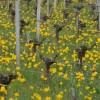 tulipe_jaune1